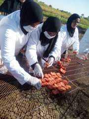 بالصور .. الزراعة تعلن عن مشروع تجفيف الطماطم بالتعاون مع برنامج الغذاء العالمى